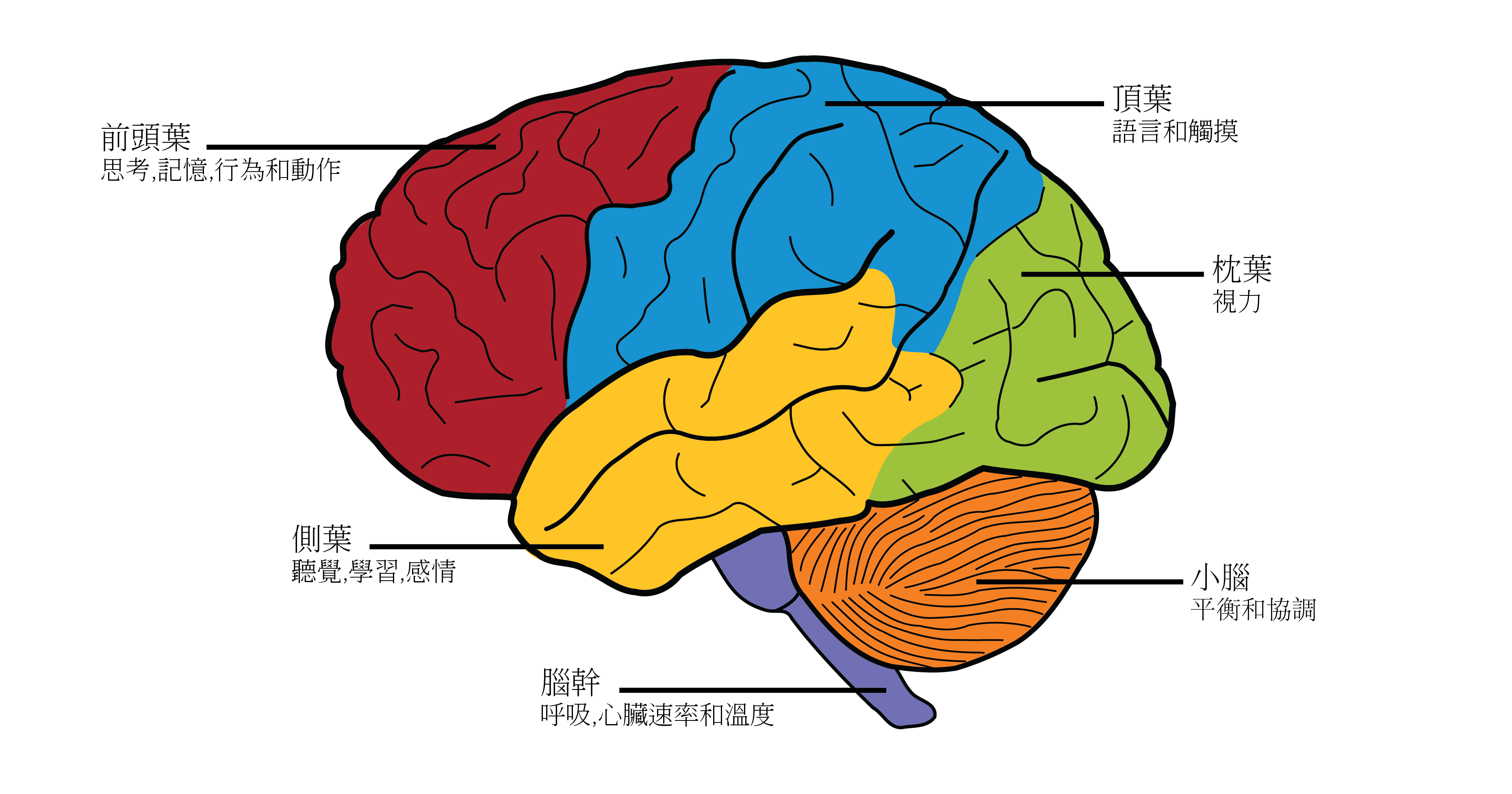 Lobes of the Brain, labeled in Chinese
