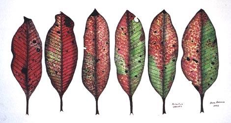 Arbutus Leaves